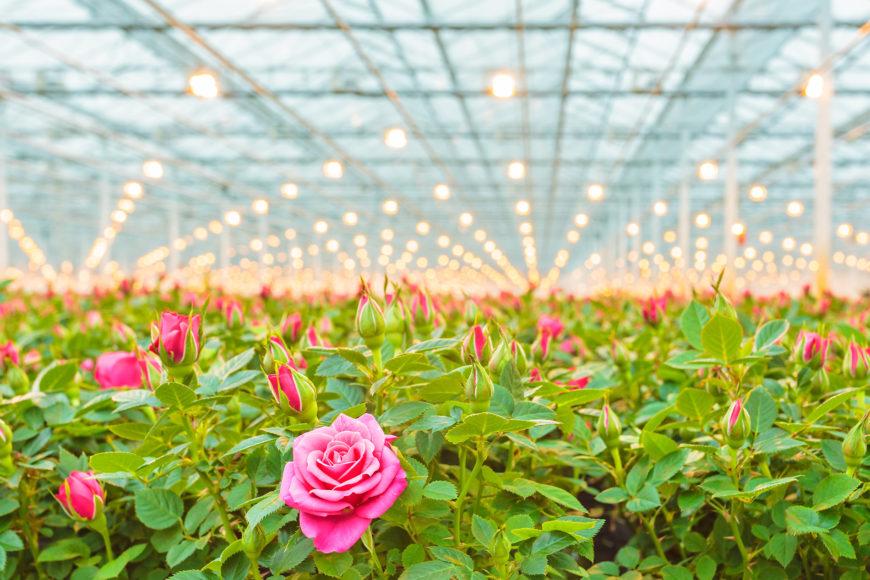 Micothon Rose Treatment