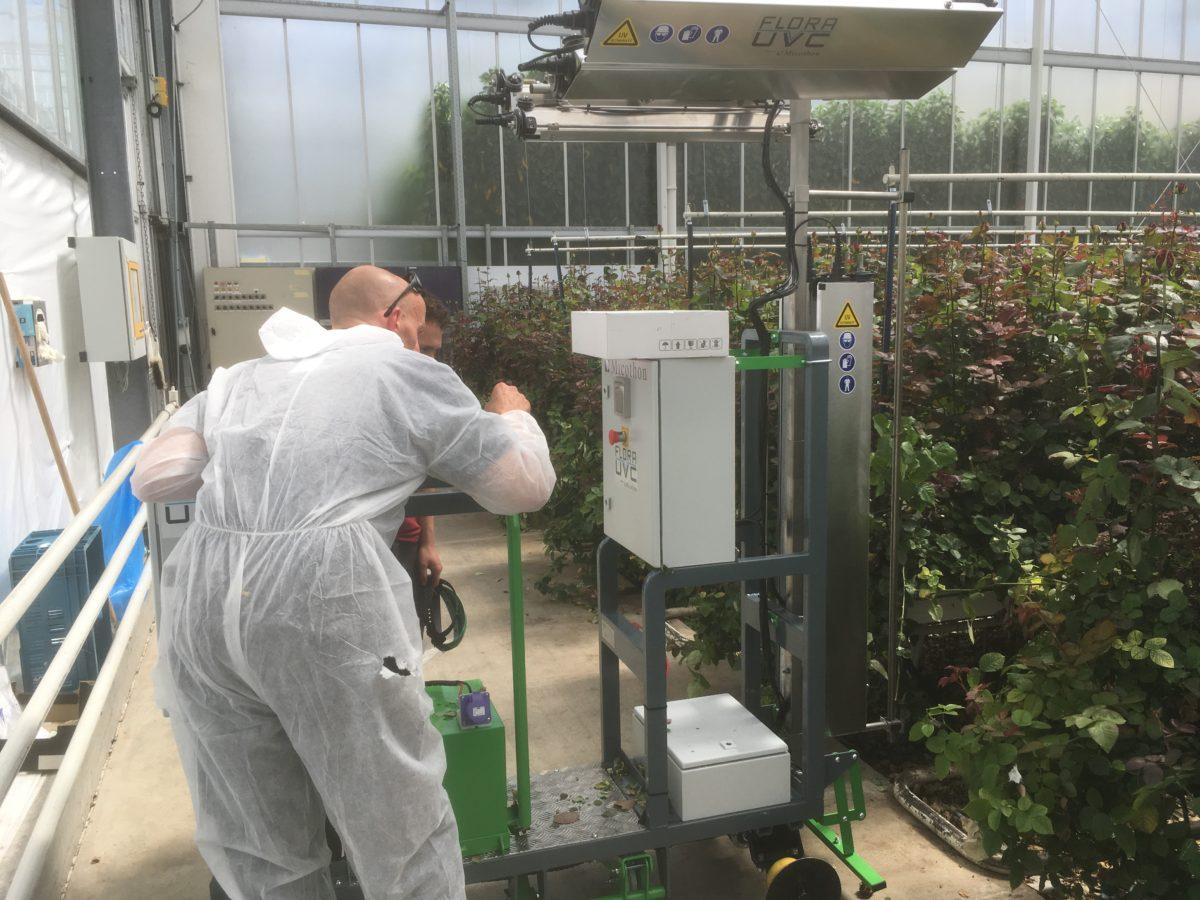 Mildew control in roses using UVC